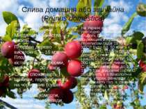Слива домашня або звичайна (Prúnus doméstica) Плодова рослина роду Слива підр...