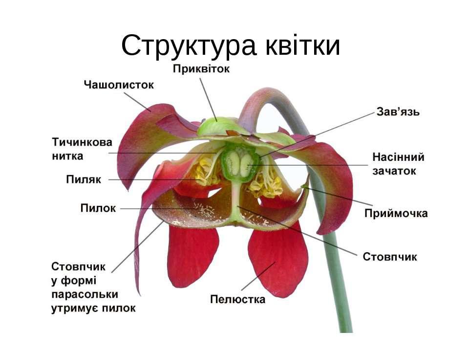 Структура квітки