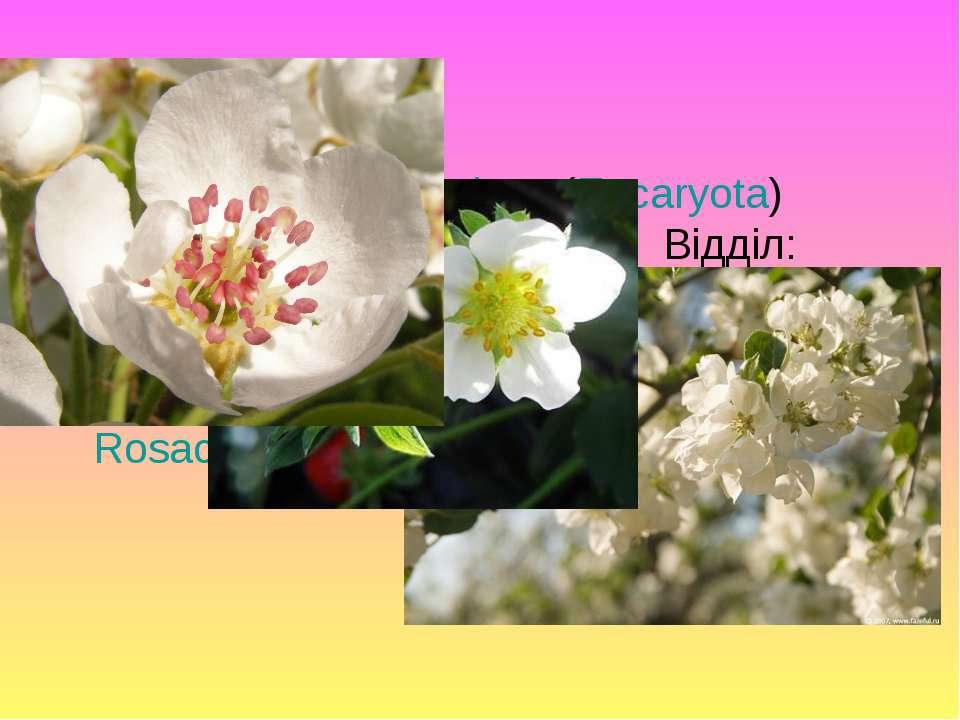 Класифікація: Надцарство: Еукаріоти (Eucaryota) Царство: Рослини (Plantae) Ві...
