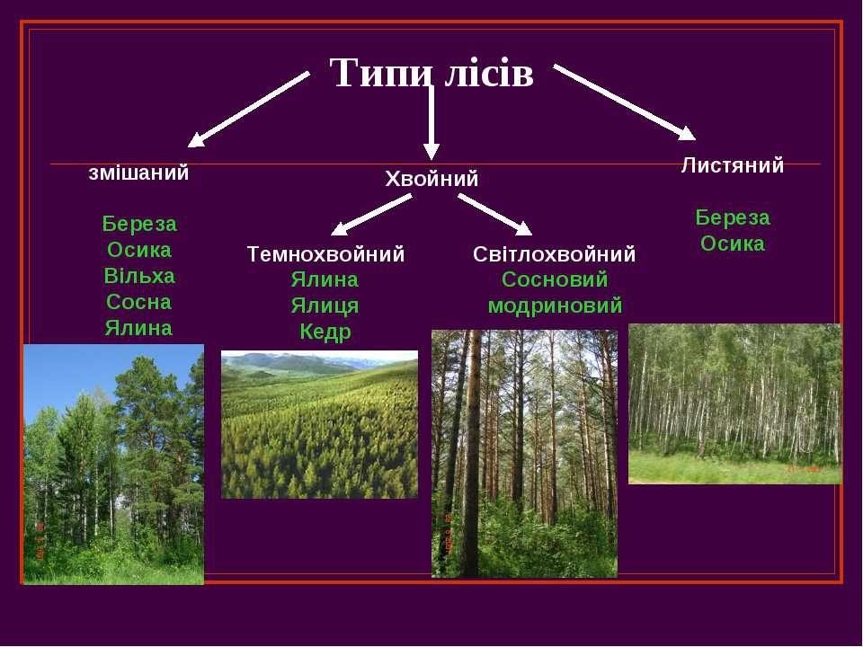 Типи лісів змішаний Береза Осика Вільха Сосна Ялина Хвойний Листяний Береза О...