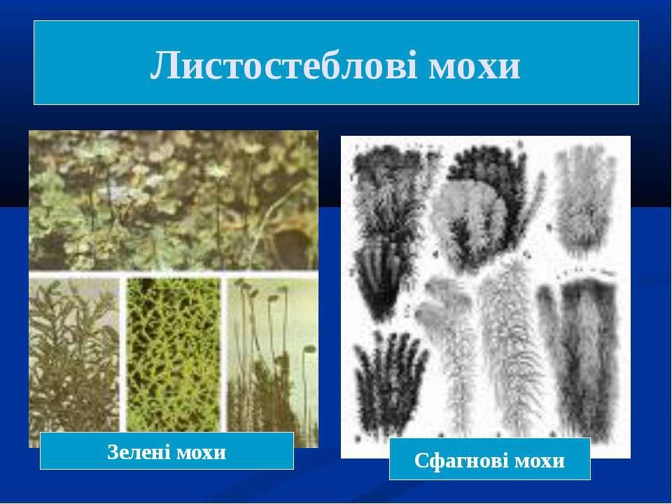 Листостеблові мохи Зелені мохи