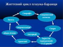 Життєвий цикл плауна-баранця Спорофіт Спороносний колосок Спори Заросток (одн...