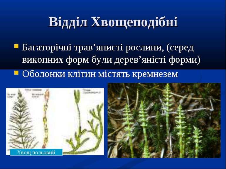 Відділ Хвощеподібні Багаторічні трав'янисті рослини, (серед викопних форм бул...