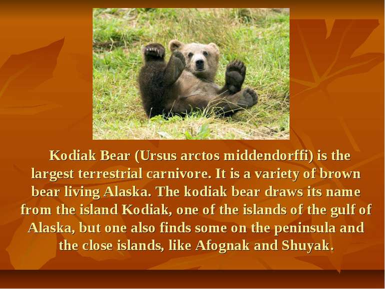Kodiak Bear (Ursus arctos middendorffi) is the largest terrestrial carnivore....