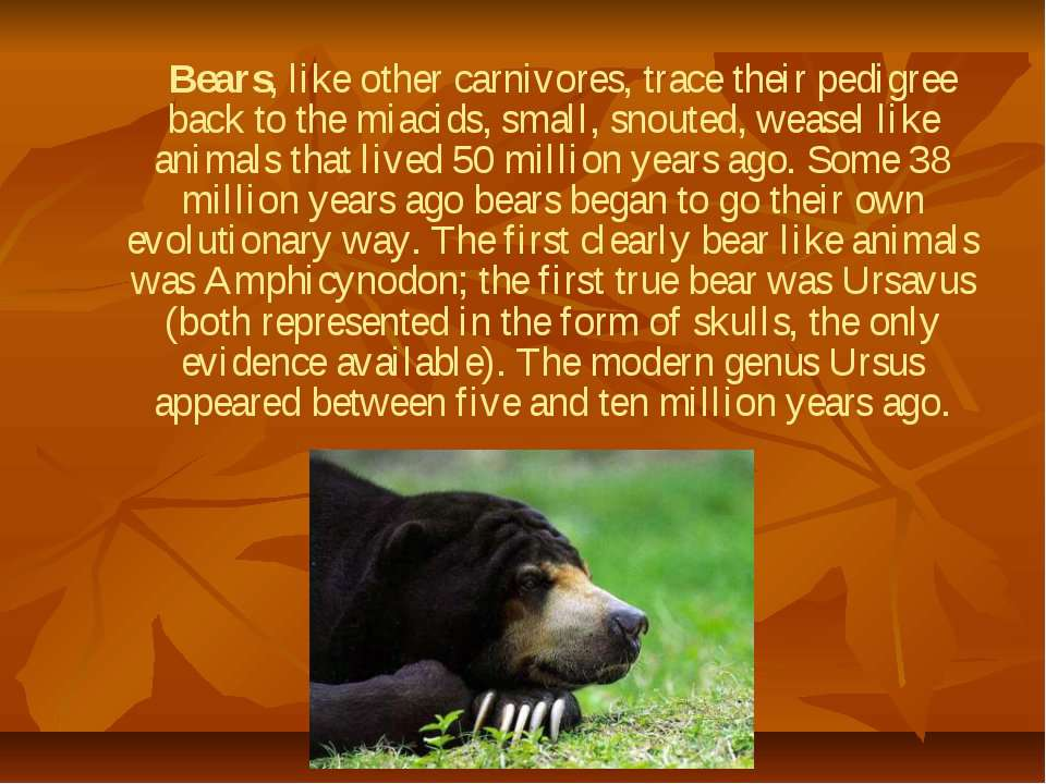Bears, like other carnivores, trace their pedigree back to the miacids, small...