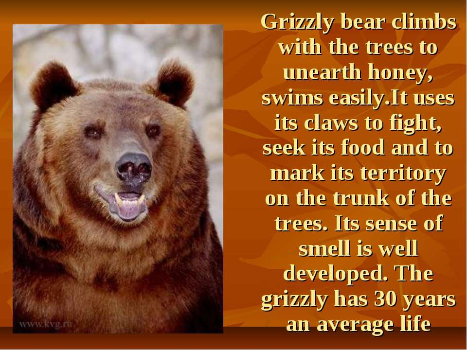 Grizzly bear climbs with the trees to unearth honey, swims easily.It uses its...