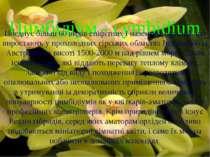 Цимбідіум - cymbidium Поєднує більш 60 видів епіфітних і наземних орхідей, що...