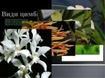 Цимбідіум карликовий (Cymbidium pumilum) Цимбідіум «слоняча кістка» (Cymbidiu...