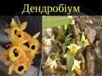 Dendrobium – один з найбільш багатих видами рід орхідних, нараховує за різним...