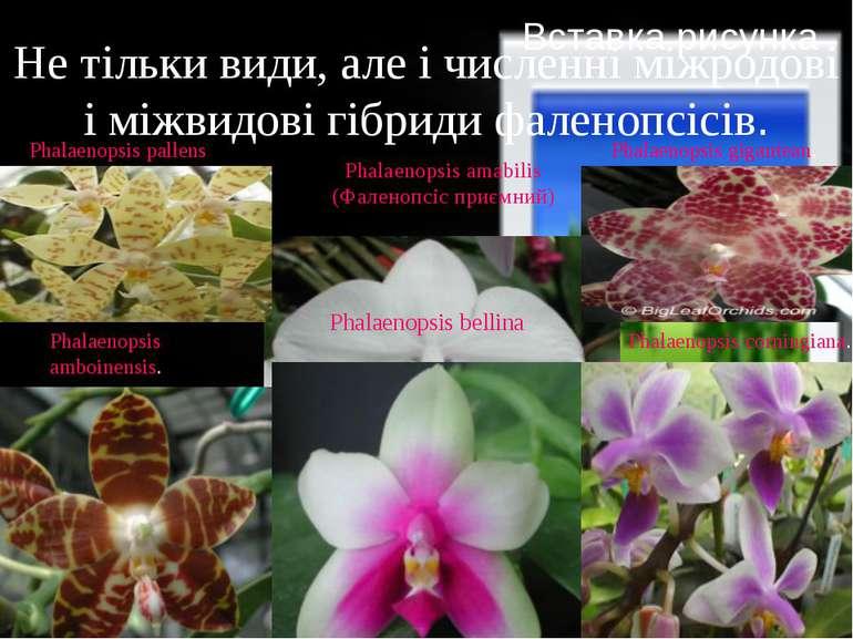 Phalaenopsis amabilis (Фаленопсіс приємний) Не тільки види, але і численні мі...