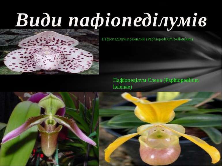 Види пафіопеділумів Пафіопеділум Аплетона (Paphiopedilum appletonianum) Пафіо...