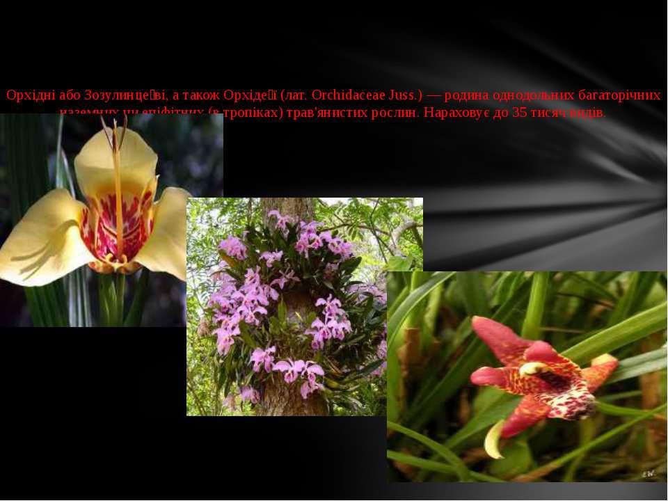 Орхідні або Зозулинце ві, а також Орхіде ї (лат. Orchidaceae Juss.) — родина ...