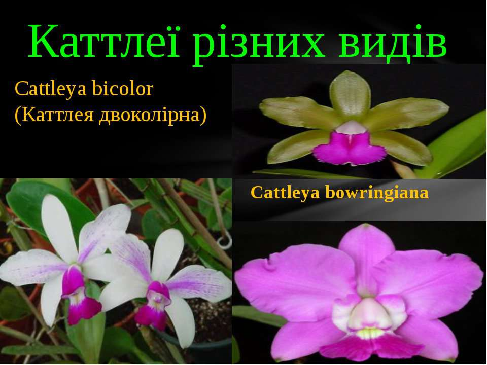 Каттлеї різних видів Cattleya violacea Cattleya bowringiana Cattleya bicolor ...