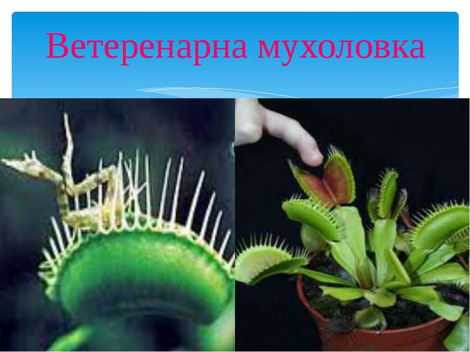 Ветеренарна мухоловка