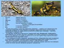 Царство: Тварини (Metazoa) Тип: Хордові (Chordata) Інфратип: Хребетні (Verteb...