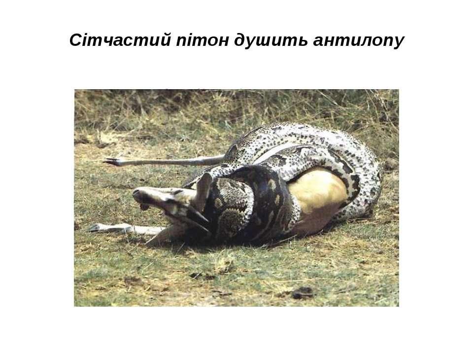 Сітчастий пітон душить антилопу