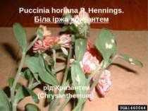 Puccinia horiana P. Hennings. Біла іржа хризантем рід Хризантем (Chrysanthemum).