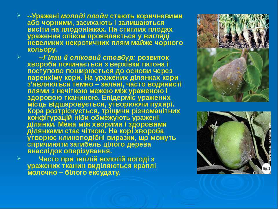 --Уражені молоді плоди стають коричневими або чорними, засихають і залишаютьс...