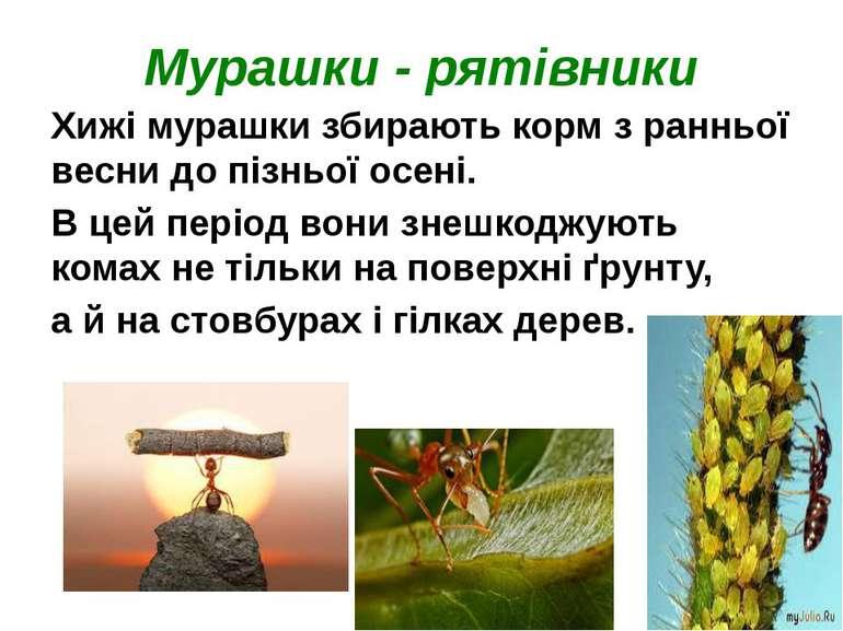 Мурашки - рятівники Хижі мурашки збирають корм з ранньої весни до пізньої осе...