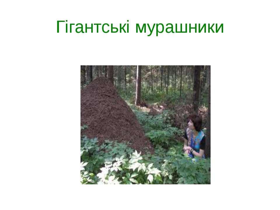 Гігантські мурашники
