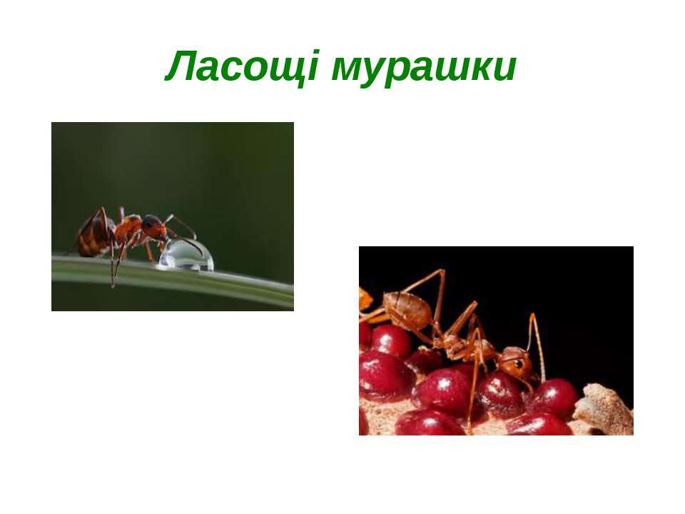 Ласощі мурашки
