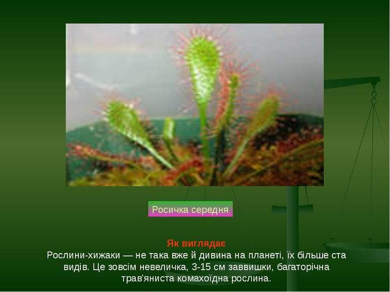 Росичка середня Як виглядає Рослини-хижаки — не така вже й дивина на планеті,...