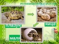 РОЗМНОЖЕННЯ ПЛАЗУНІВ яйце маля плазун На відміну від риб і земноводних, плазу...
