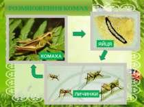 РОЗМНОЖЕННЯ КОМАХ КОМАХА ЯЙЦЯ ЛИЧИНКИ Лялечки є не у всіх комах. Наприклад, л...