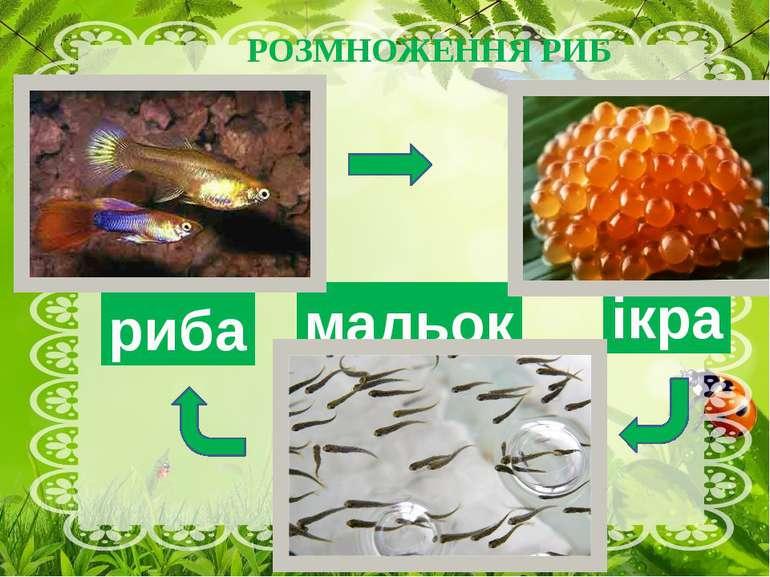 РОЗМНОЖЕННЯ РИБ ікра мальок риба Навесні до початку літа риби розмножуються, ...