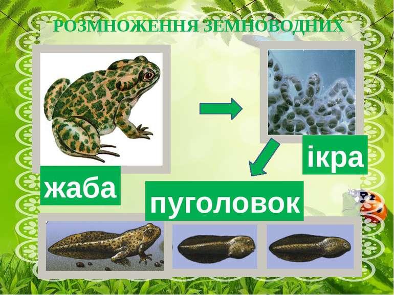 РОЗМНОЖЕННЯ ЗЕМНОВОДНИХ ікра жаба пуголовок Навесні у ставках, озерах, на річ...
