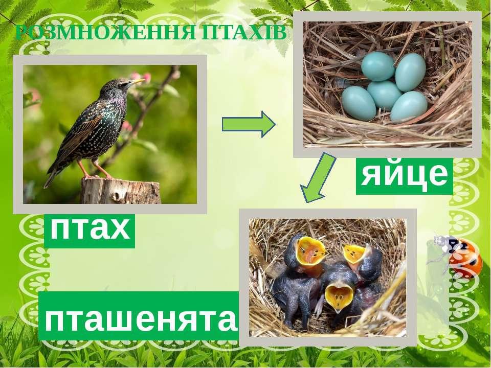 РОЗМНОЖЕННЯ ПТАХІВ яйце пташенята птах Навесні настає важливий період у житті...