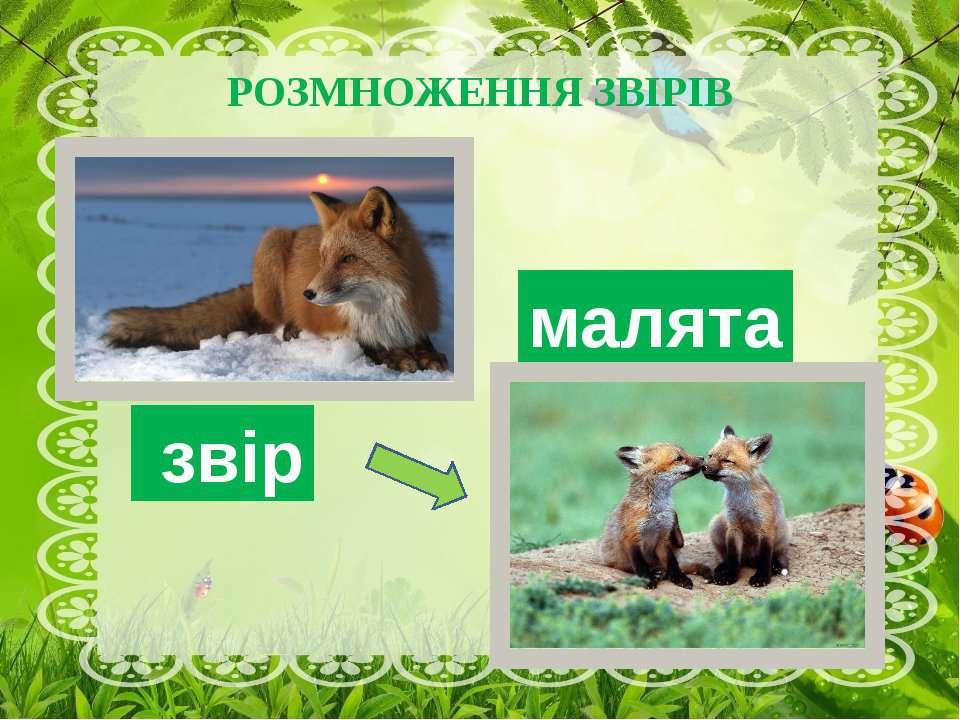 РОЗМНОЖЕННЯ ЗВІРІВ малята звір Звірі розмножуються навесні, народжуючи малят,...