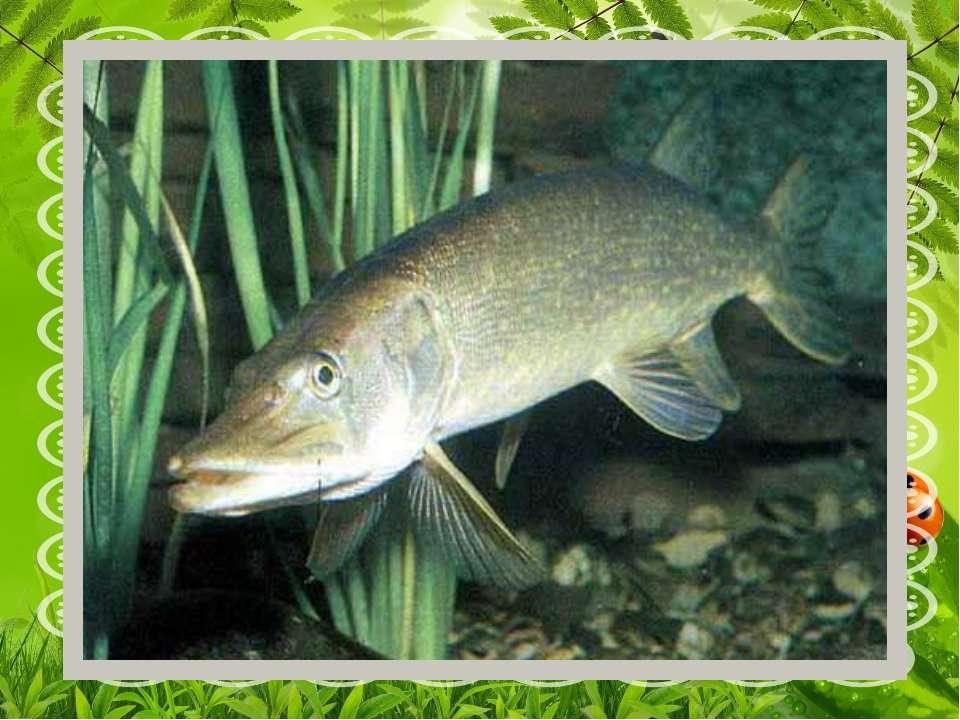В річці риба проживає- Довгу морду вона має, Гострі зуби, хижу вдачу – В річ...