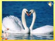 Білосніжні, гарні птиці Дім будують на водиці, Дуже схожі на гусей, Обережні ...
