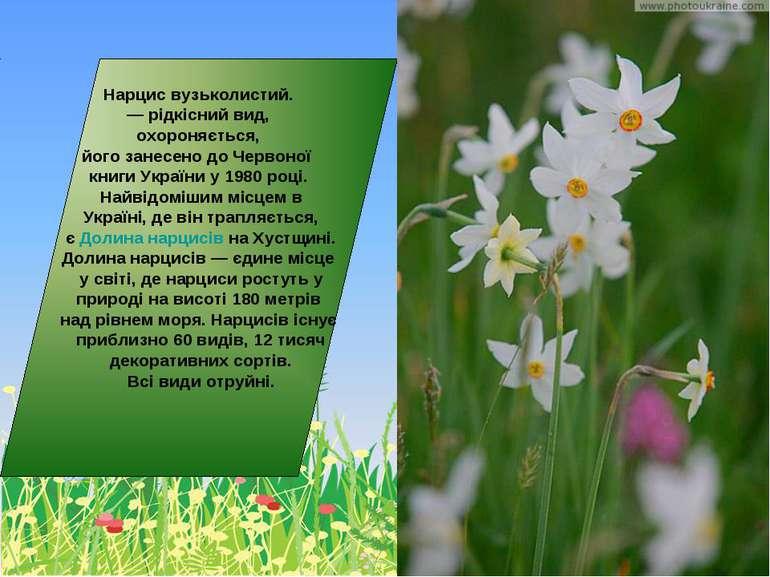 Нарцис вузьколистий. — рідкісний вид, охороняється, його занесено до Червоної...