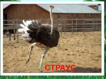 Найкрупніший птах світу, висота птаха — 2,5 м, а маса може перевищувати 50 кг...
