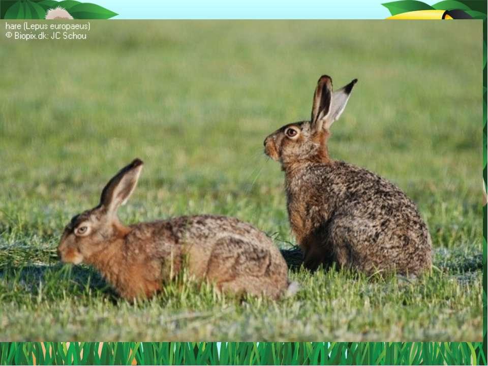 Тварина має добре розвинений слух, а зір та нюх слабкі. Справжній майстер по ...