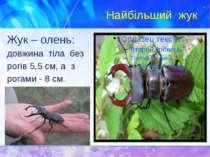 Найбільший жук Жук – олень: довжина тіла без рогів 5,5 см, а з рогами - 8 см.