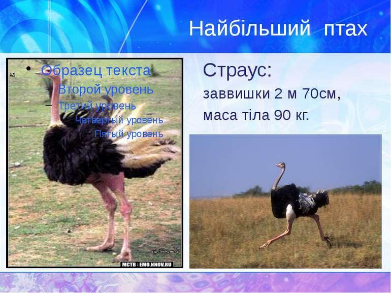 Найбільший птах Страус: заввишки 2 м 70см, маса тіла 90 кг.