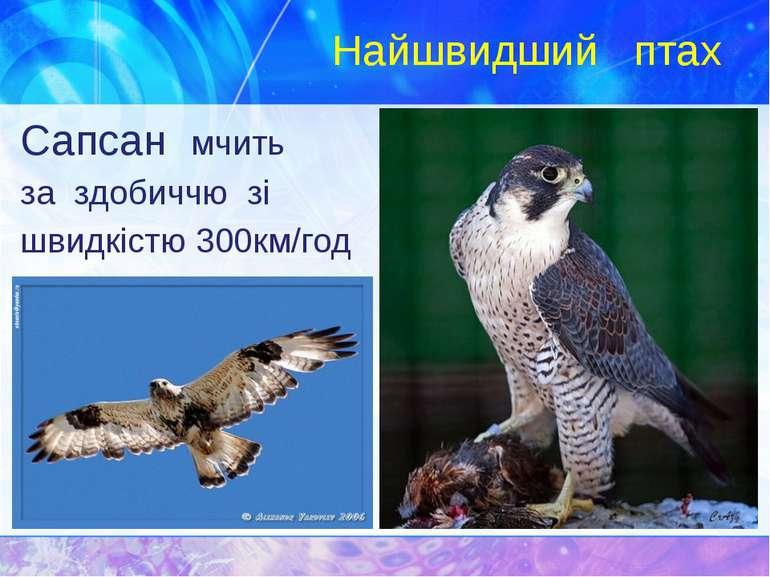 Найшвидший птах Сапсан мчить за здобиччю зі швидкістю 300км/год
