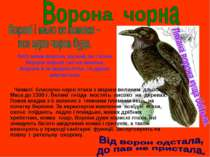 Чималі блискучо-чорні птахи з міцним великим дзьобом. Маса до 1300 г. Великі ...