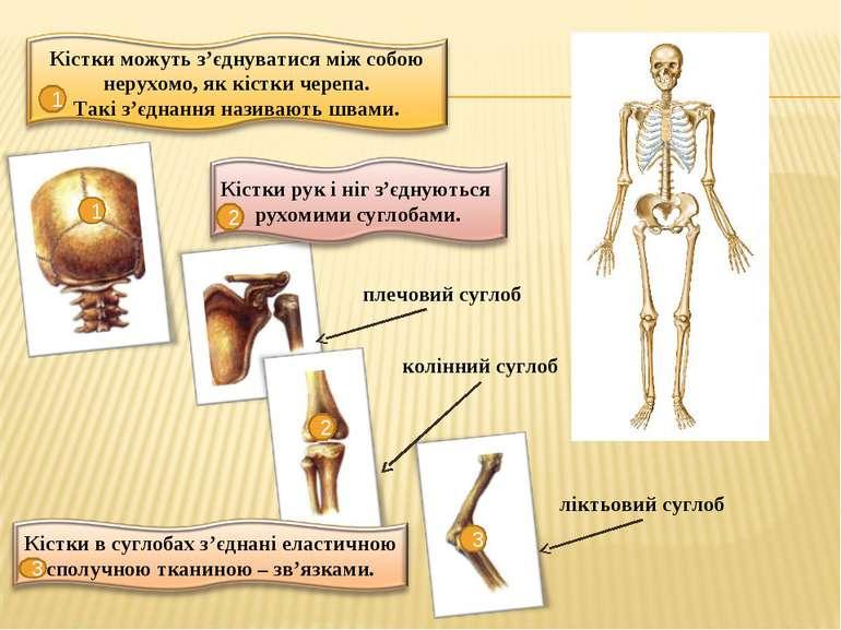 1 1 2 2 плечовий суглоб колінний суглоб 3 3 ліктьовий суглоб