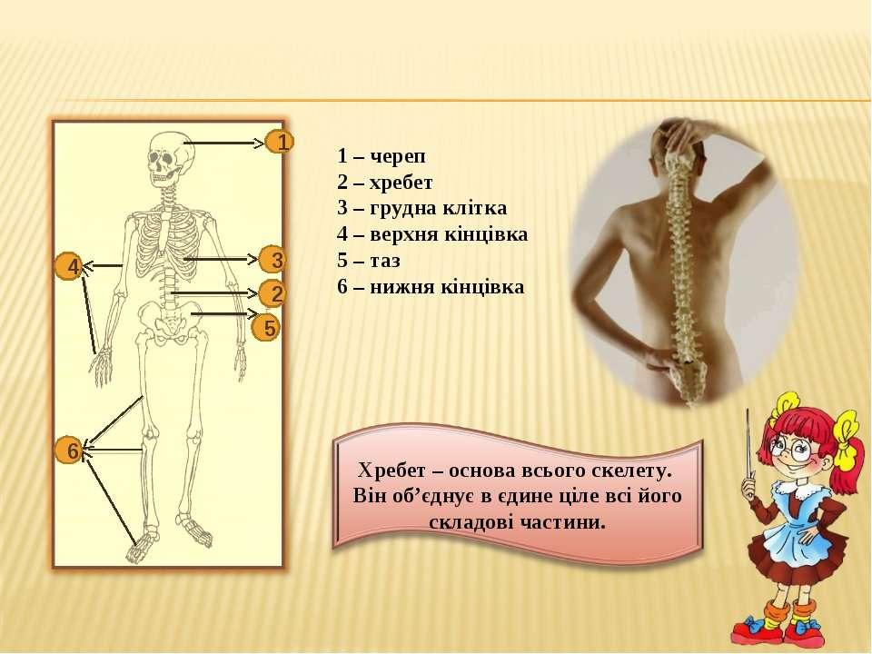 1 – череп 2 – хребет 3 – грудна клітка 4 – верхня кінцівка 5 – таз 6 – нижня ...