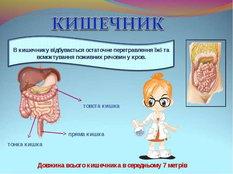 товста кишка тонка кишка пряма кишка Довжина всього кишечника в середньому 7 ...