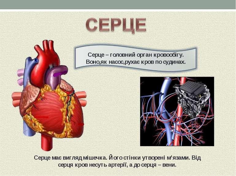 Серце має вигляд мішечка. Його стінки утворені м'язами. Від серця кров несуть...