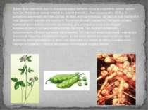 Давно було помічено, що після вирощування бобових культур родючість грунту зн...
