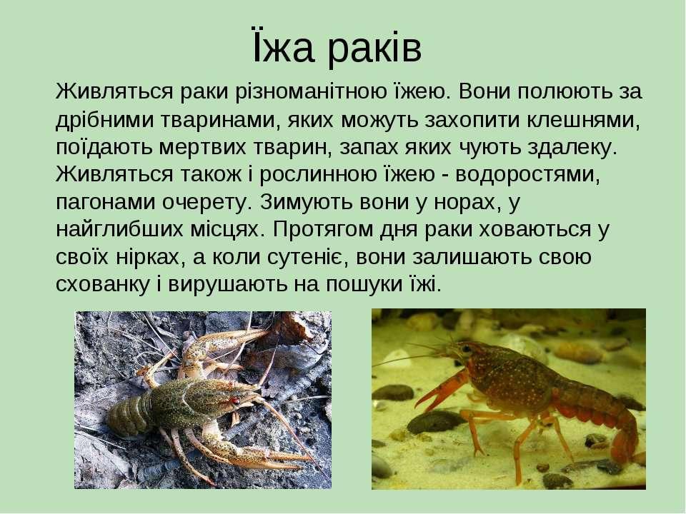Їжа раків Живляться раки різноманітною їжею. Вони полюють за дрібними тварина...