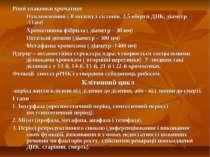 Рівні упаковки хроматину Нуклеосомний ( 8 молекул гістонів, 2,5 оберти ДНК, д...