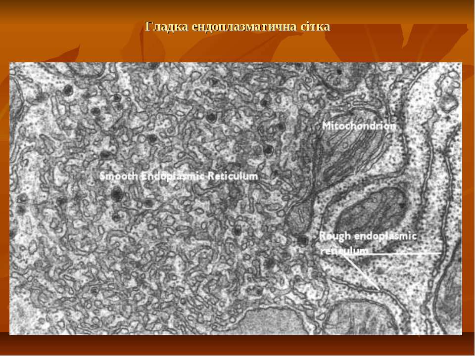 Гладка ендоплазматична сітка