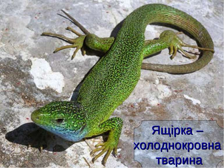 Ящірка – холоднокровна тварина